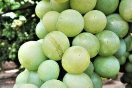 cracking uva da tavola