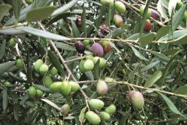 ramo con olive