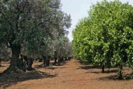 olivi e agrumi