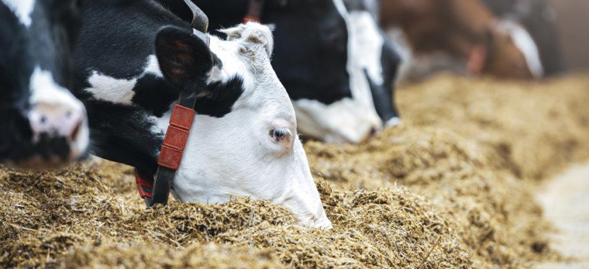 vacca da latte
