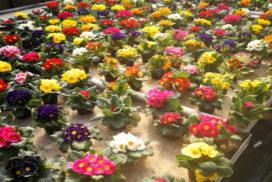 fiori primule