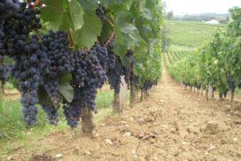 Sensori per la rilevazione della qualità dell'uva