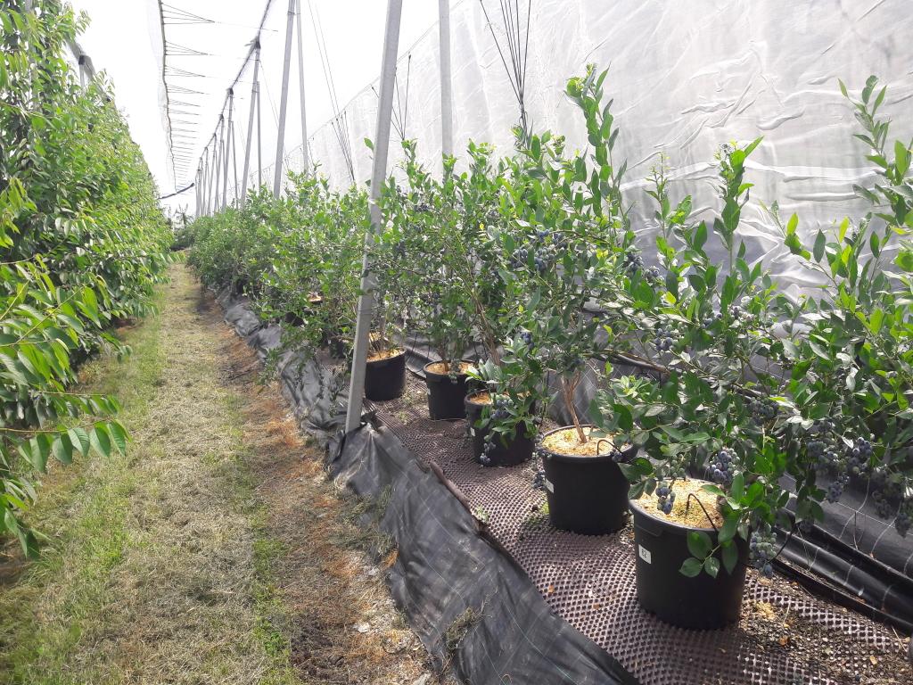 Coltivare Lamponi In Vaso mirtillo in fuori suolo: la dimensione del vaso ottimale - l