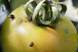 Danni da Tuta absoluta su bacca di pomodoro