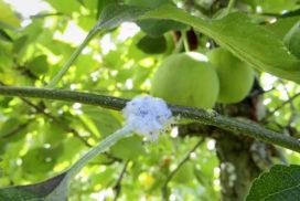 danni da afide lanigero su melo