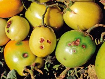 maculatura batterica pomodoro