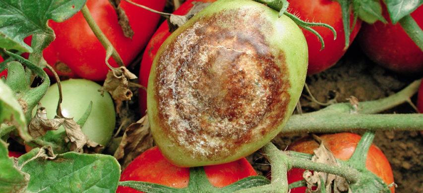 peronospora su pomodoro