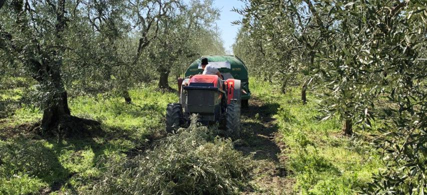 raccolta potature olivi
