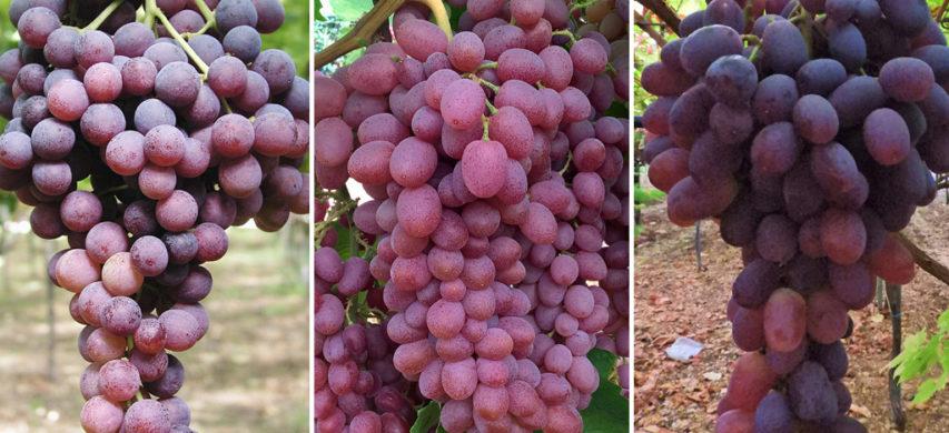 Apulia Fiammetta Rita - uva da tavola ok