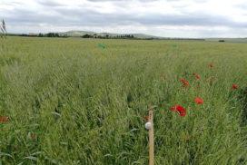 frumento infestanti Sud Italia