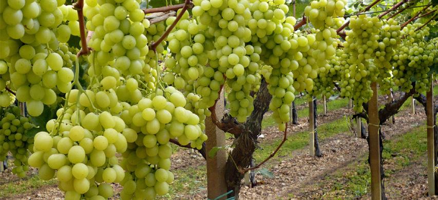 uva da tavola Italia