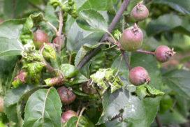 Colonia di afide girigio su foglie e frutticini del melo