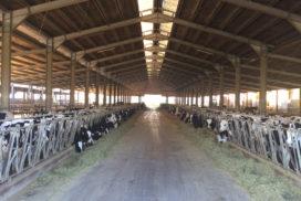 Corsia alimentazione stalla vacche