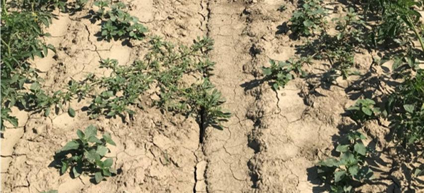 pomodoro con infestante Solanum nigrum